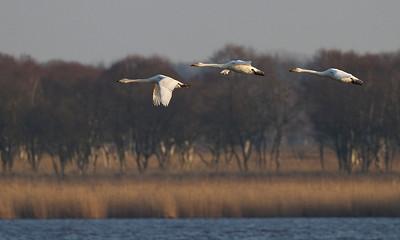 Sangsvaner, Whooper swans (Cygnus cygnus), Lille Vildmose, Denmark