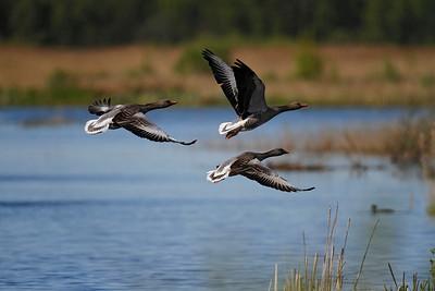Grågæs, Greylag Geese, Lille Vildmose, Denmark