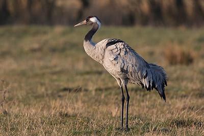 Trane, Common Crane (Grus grus), Lille Vildmose, Denmark