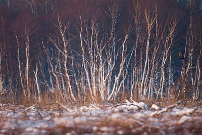 Musvåge i vinter-moselandskab