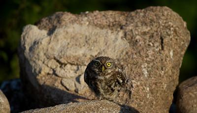Kirkeugle, Little owl (Athene noctua), juvenile, Himmerland, Denmark