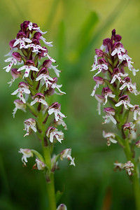 Bakkegøgeurt, Burnt-tip Orchid (Neotinea ustulata), Skørping, Denmark