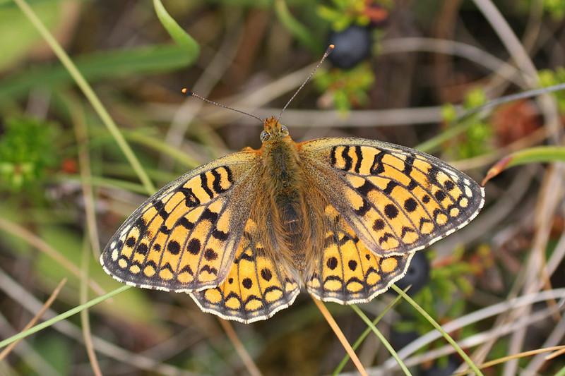 Klitperlemorsommerfugl, Niobe Fritillary (Argynnis niobe), Nørre Vorupør