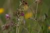 Okkergul Pletvinge, Glanville Fritillary (Melitaea cinxia), Skivum Krat, Denmark