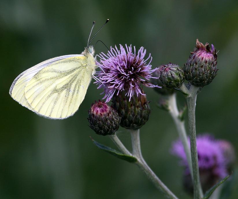 Grønåret kålsommerfugl, Green-veined White (Pieris napi)