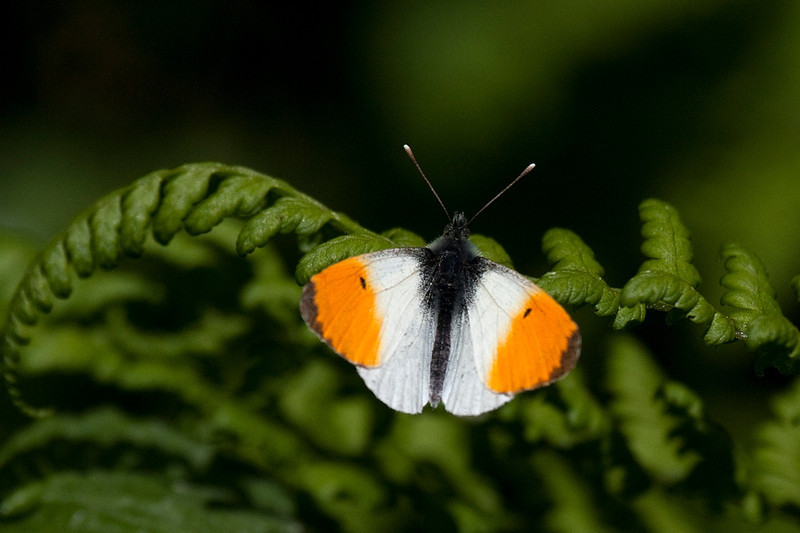 Aurora, Orange Tip (Anthocharis cardamines), Svinkløv Klitplantage