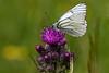 Sortåret hvidvinge, Black-veined White (Aporia crataegi), Højris Mølle