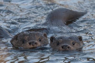 Oddere, Eurasian otters (lutra lutra), Himmerland, Denmark