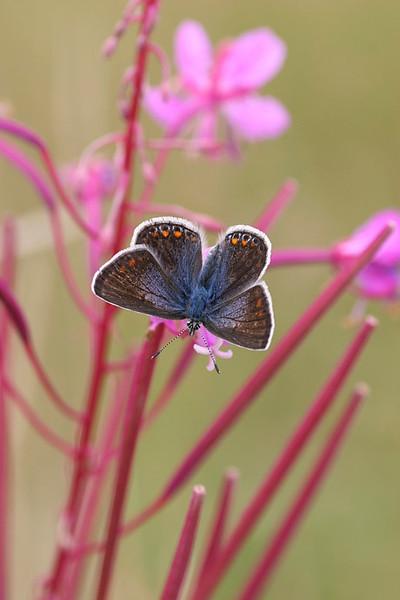 Almindelig blåfugl, Common Blue (Polyommatus icarus), Hadbjerg