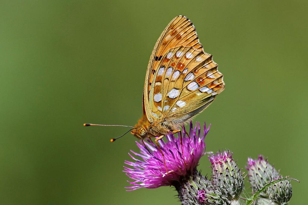 Skovperlemorsommerfugl, High Brown Fritilary (Argynnis adippe), Almindingen, Bornholm, DK