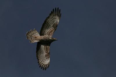 Hvepsevåge, Honey buzzard (Pernis apivorus), Himmerland