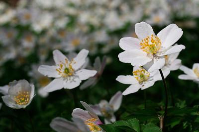 Anemoner, Wood Anemone, (Anemone nemorosa), Skivum Krat