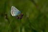 Almindelig blåfugl, Common Blue (Polyommatus icarus), Himmerland