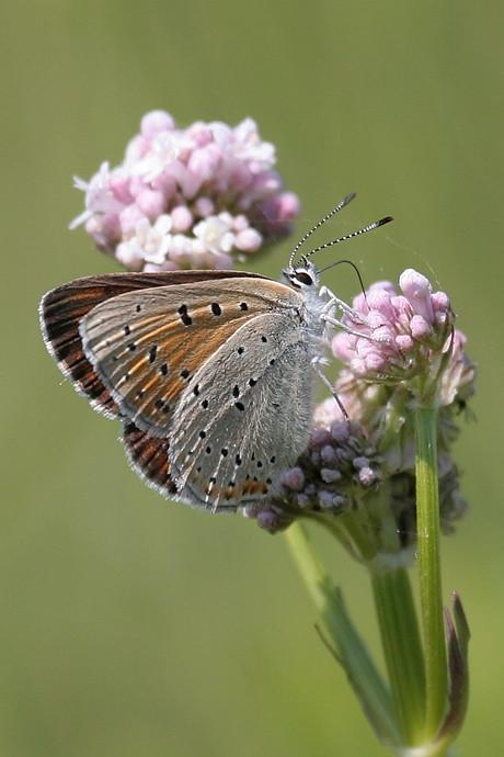 Violetrandet ildfugl, hun, Purple Edged Copper (Lycaena hippothoe), Skivum Krat