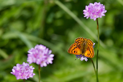 Dukatsommerfugl, Scarce Copper, female (Lycaena virgaureae), Faddersbøl