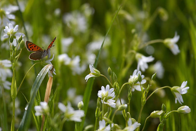 Lille ildfugl, Small Copper, (Lycaena phlaeas), Skivum Nørrekrat