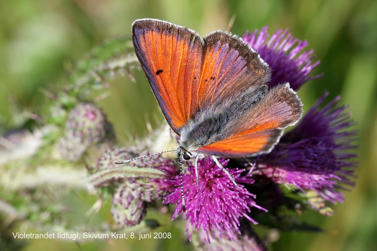 Violetrandet ildfugl, han, Purple Edged Copper (Lycaena hippothoe), Skivum Krat