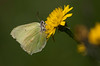 Citronsommerfugl, Brimstone (Gonepteryx rhamni), Skivum Krat, Denmark