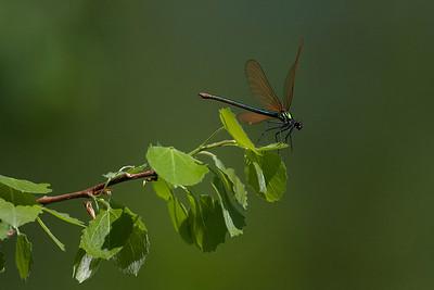 Blåvinget Pragtvandnymfe, Beautiful Demoiselle, (Calopteryx virgo), Skivum krat, Denmark