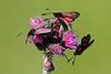 Eng-køllesværmere, Five-spot Burnets (Zygaena trifolii), Skivum Krat
