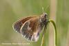 Moserandøje, Large Heath (Coenonympha tullia), Skivum Krat