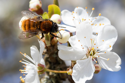 Rødpelset jordbi, Tawny mining bee (Andrena fulva), Skivum Krat, Denmark