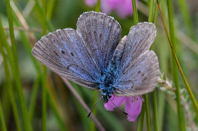Ensianblåfugl æglæggende på Klokkeensian , Alcon Large Blue laying its eggs onto the Marsh Gentian (Maculinea alcon), Østerild Klitplantage, Denmark