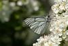Sortåret hvidvinge, Black-veined White (Aporia crataegi), Valbjerg Sande