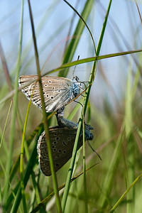 Ensian-blåfugle i parring, Alcon Blues, Østerild Klitplantage, Denmark