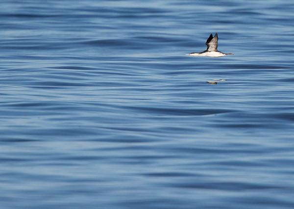 Red-throated loon (Gavia stellata), Rødstrubet lom, on silky calm North Sea