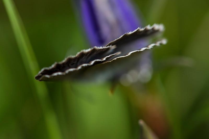 Ensianblåfugl æglæggende på Klokkeensian , Alcon Large Blue laying its eggs onto the Marsh Gentian (Maculinea alcon), Østerild Klitplantage, Denmark