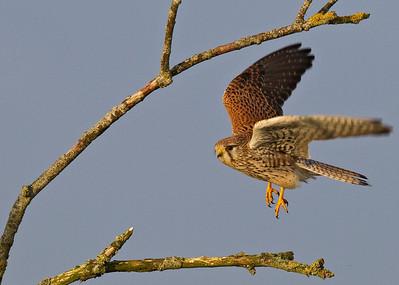 Tårnfalk, Kestrel (Falco tinnunculus), Lille Vildmose, Denmark