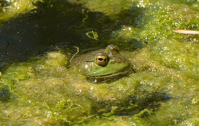 Frog in algae at Yolo Bypass