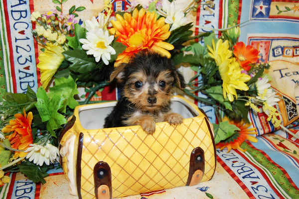 2009 Yorkie Poos Sold Photo and Videos