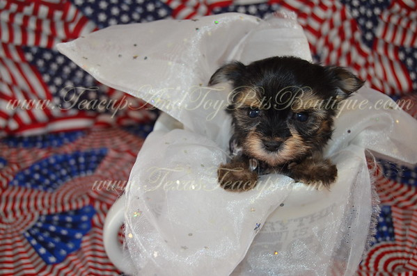 Male Yorkie Puppy # 3134