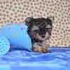 Puppy: 3135 Breed: Yorkie Sex: Male Date Taken: July 21st Taken By: Rebecca V.