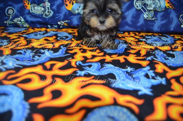 Male Yorkie Puppy # 5000
