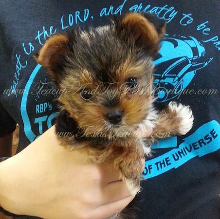 Yorkie Puppy 3011