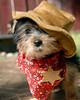 teddy sheriff 13 wks old