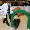 One man and his pig - Chief Exec of YAS Nigel Pulling has a go!
