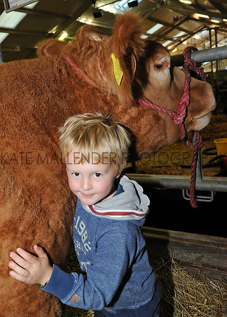 Ted Lloyd aged 7 helps prepare his parents cattle at Countryside Live, Harrogate.