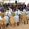 096 sheep young handlers