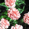 GYS 14 _101_flowers GVs