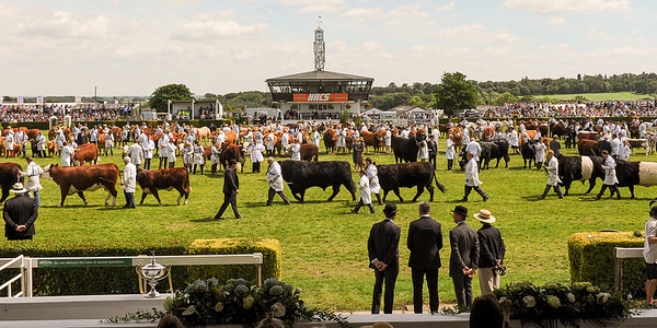 GYS 14_195_cattle parade