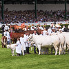 GYS 14_191_cattle parade