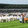 GYS 14_188_cattle parade