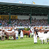GYS 14_187_cattle parade