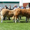 GYS 14_102_cattle GV