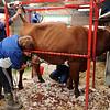 076 cattle prep