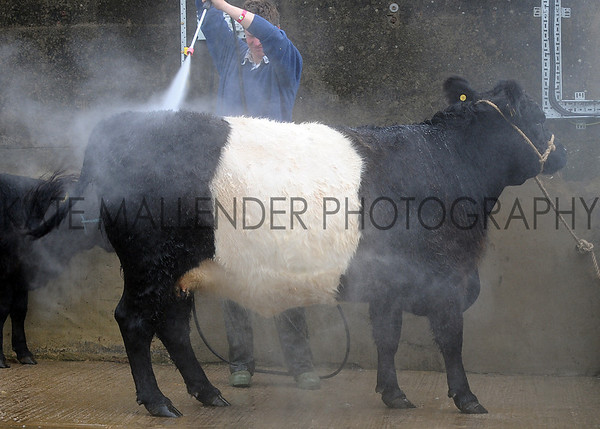 039 cattle wash